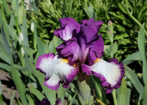 Floraisons de nos Iris barbus 2013 - Page 7 13-nei12