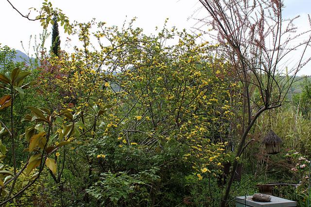 rosier 'Canary Bird' (= Rosa xanthina 'Canary Bird') 132