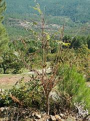 Ailanthus altissima - ailante 1322