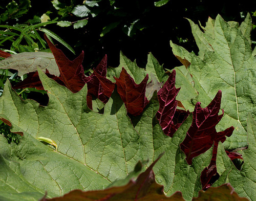 Rheum - rhubarbes ornementales  1350