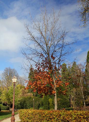 Acer platanoides - érable plane  1352