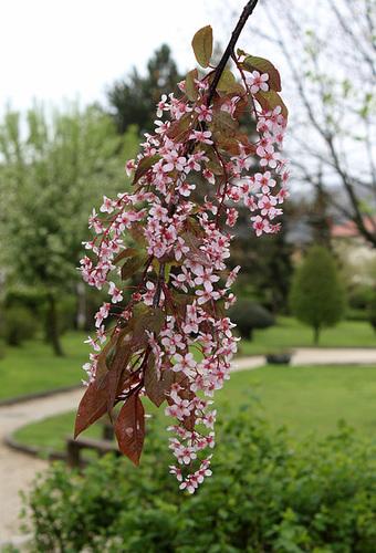 Prunus padus - cerisier à grappes - espèce et cultivars  1354