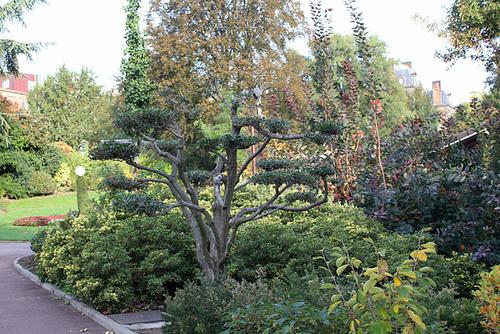Ilex aquifolium - houx commun  1359