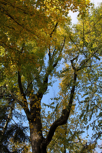 Acer campestre - érable champêtre 1360