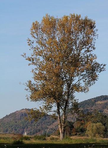Populus nigra - peuplier noir - variétés, cultivars 1361