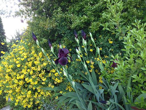 Floraisons de nos Iris barbus 2013 - Page 3 1364