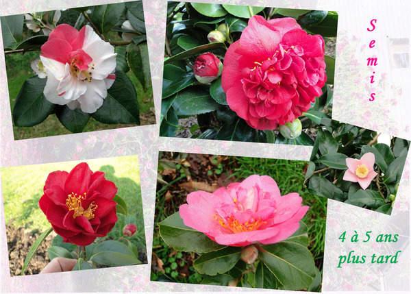 Multiplication des Camellia 1365
