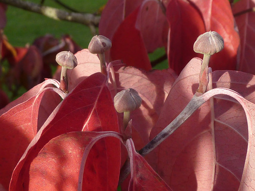 Cornus florida - cornouiller à fleurs  1420