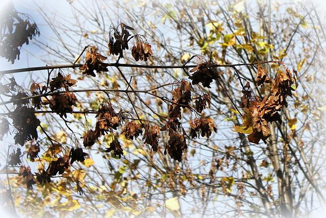 Acer platanoides - érable plane  1438