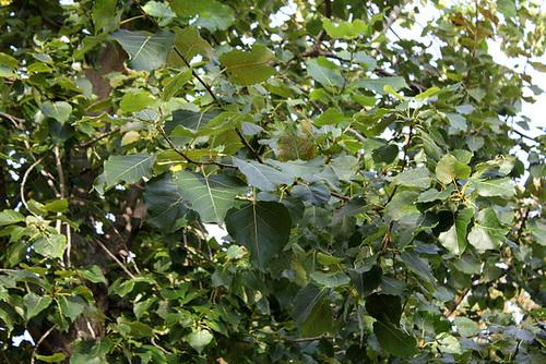 Populus nigra - peuplier noir - variétés, cultivars 1443