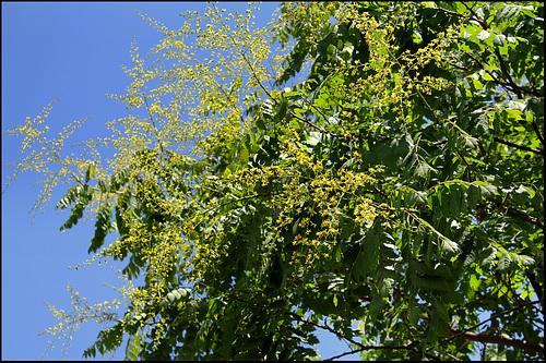 *koelreu* - Koelreuteria paniculata - savonnier 1444