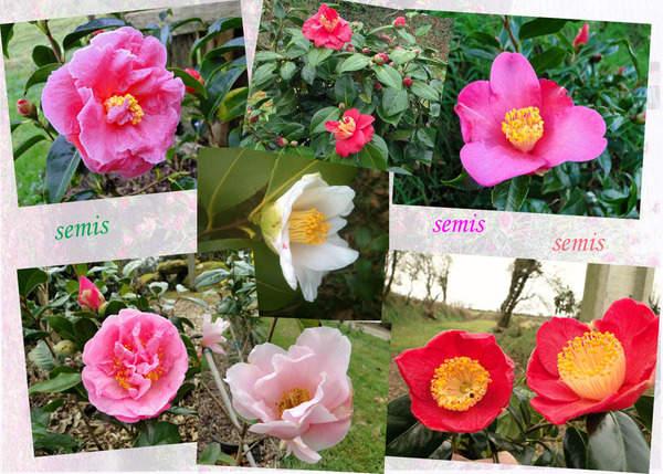 Multiplication des Camellia 1446