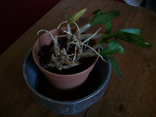 Dendrobium nobile 14_sol10