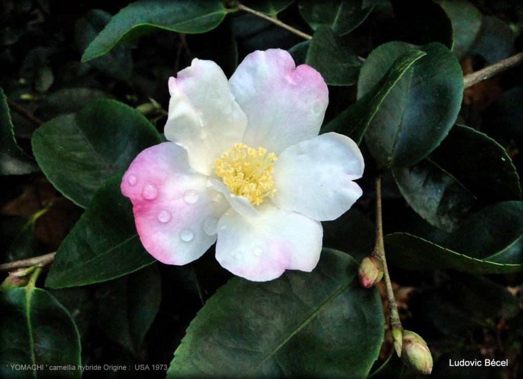 Floraisons automnales et de fin d'année , camellias etc... 14ludo10