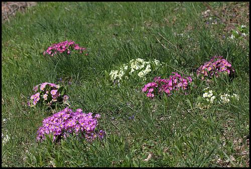 Primula vulgaris - primevère commune, primevère acaule 14neir10