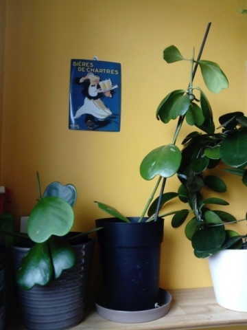 Hoya kerrii  - Page 2 14plum10