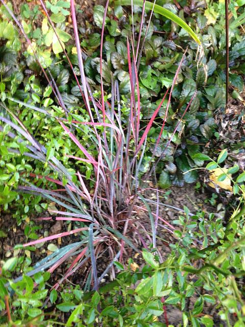 Poaceae (graminées) - Cyperaceae (bambous) 15-abe12