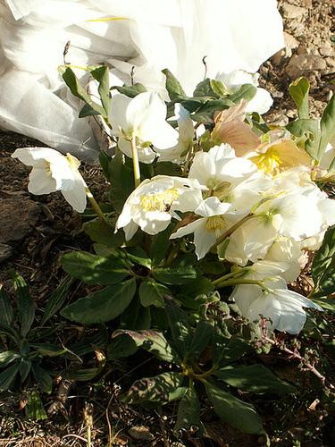 Helleborus - les hellébores, ou ellébores 15-cug10