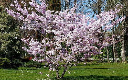 Prunus serrulata - cerisiers à fleurs du Japon 15_dhe10