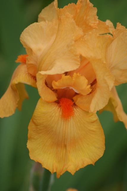 Floraisons 2016 de nos grands iris barbus et Bilan - Page 4 15_la_10