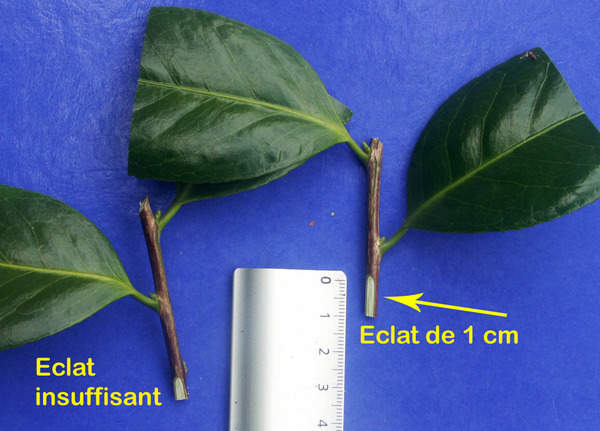 Multiplication des Camellia 15aval10