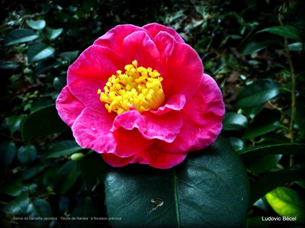 Floraisons automnales et de fin d'année , camellias etc... - Page 2 15ludo10