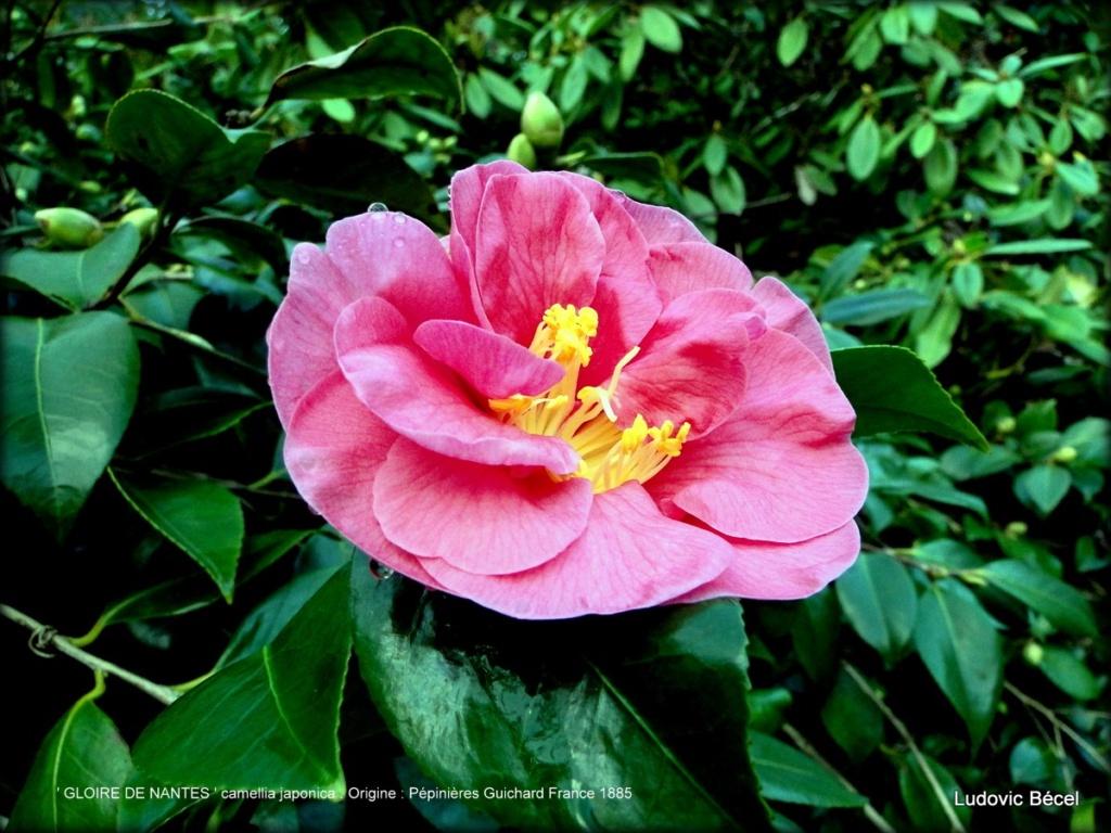 Floraisons automnales et de fin d'année , camellias etc... 15ludo11