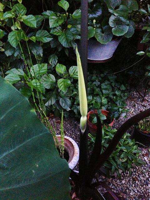 colocasia - Colocasia esculenta - taro 16-abe11
