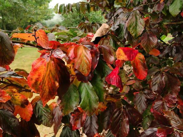 Parrotia persica - arbre de fer 16-ava10