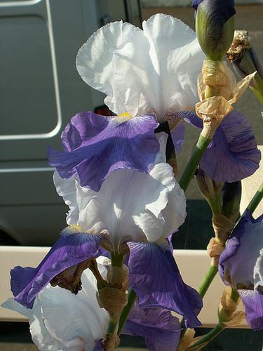Nos Iris : floraisons 2012 - Page 3 16-cug11