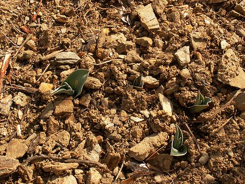 où en sont vos bulbes cet hiver 2012 ? 1614
