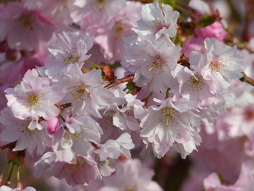 Prunus serrulata - cerisiers à fleurs du Japon 1621