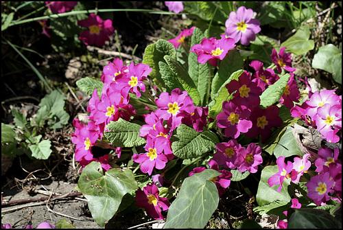 Primula vulgaris - primevère commune, primevère acaule 1637