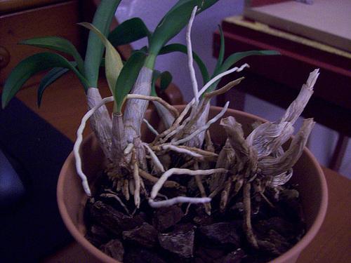 Dendrobium nobile 16sol_10