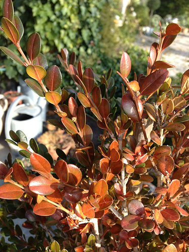 Buxus sempervirens - buis commun - Page 2 17-abe10