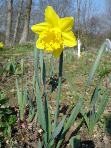 Narcissus - les narcisses 17-bip10
