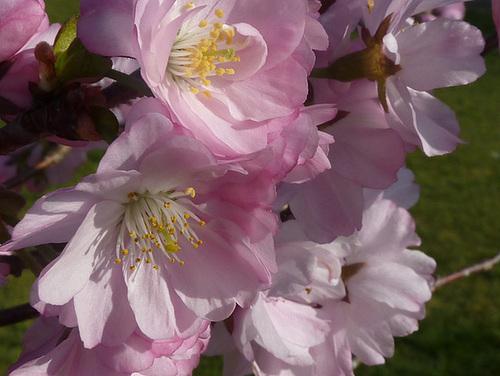 Prunus serrulata - cerisiers à fleurs du Japon 1720