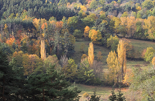 Populus nigra - peuplier noir - variétés, cultivars 1741