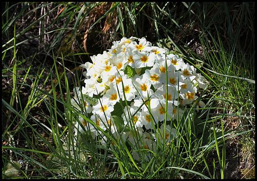 Primula vulgaris - primevère commune, primevère acaule 17_210