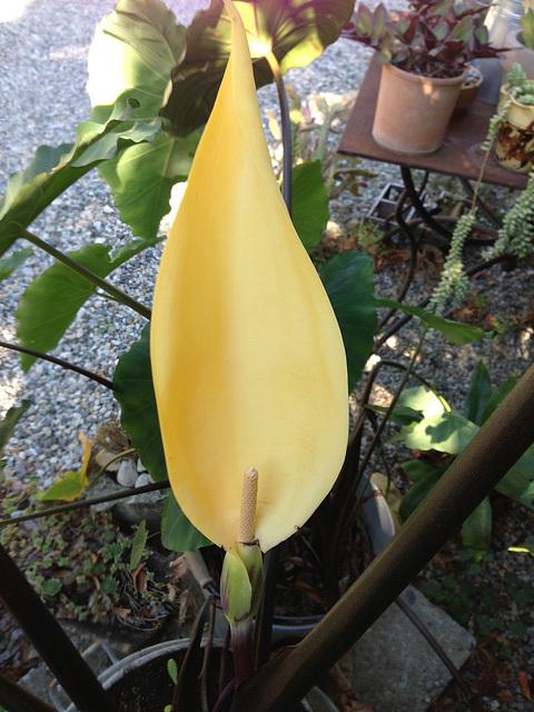 colocasia - Colocasia esculenta - taro 17abei11