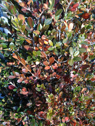 Buxus sempervirens - buis commun - Page 2 1818