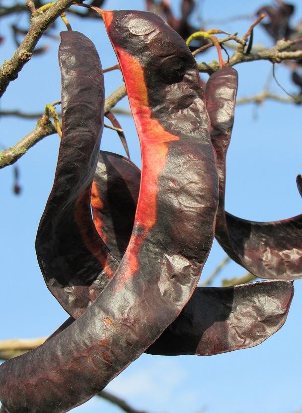 Gleditsia triacanthos - févier d'Amérique 1820