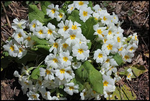 Primula vulgaris - primevère commune, primevère acaule 1839