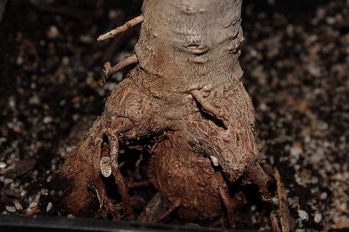 Adansonia digitata - baobab africain - Page 3 1843