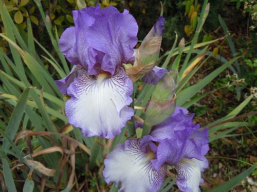 Floraison de nos iris barbus saison 2014 - Page 2 18_abe11