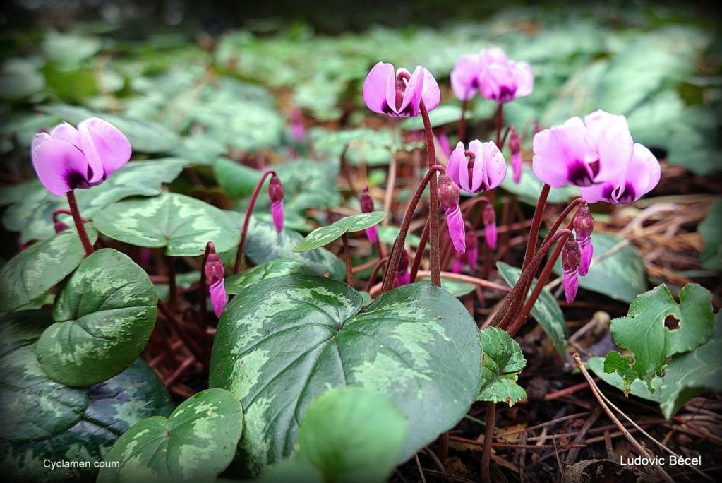Floraisons automnales et de fin d'année , camellias etc... - Page 2 18ludo10