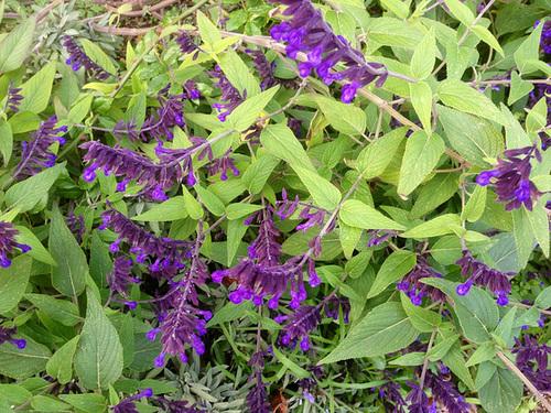 Salvia - les floraisons du moment - Page 12 19-abe11