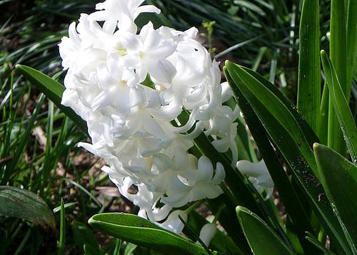 Hyacinthus orientalis - jacinthe 19-mea10