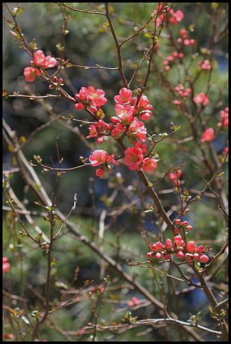 Chaenomeles japonica - cognassier du Japon et hybrides  19-nei10