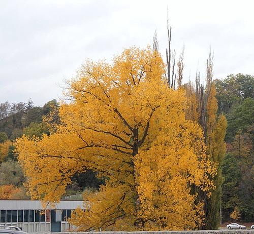 Populus nigra - peuplier noir - variétés, cultivars 1942